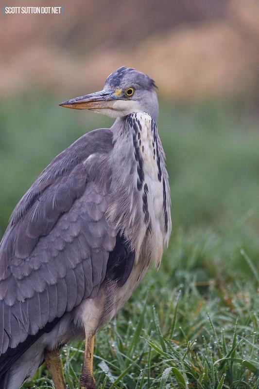 Grey Heron at Hendre Lake, St Mellons, Cardiff