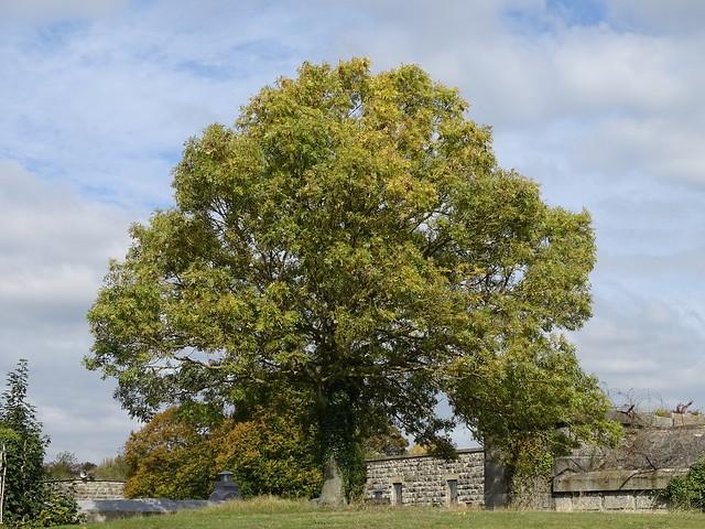TREE OUTSIDE  COALHOUSE FORT A VICTORIAN DEFENCE INSTALLATION NEAR TILBURY ESSEX NEAR LONDON ENGLAND DSC00785