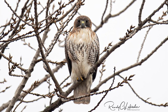 Red-tailed Hawk - Buteo jamaicensis | 2020 - 1
