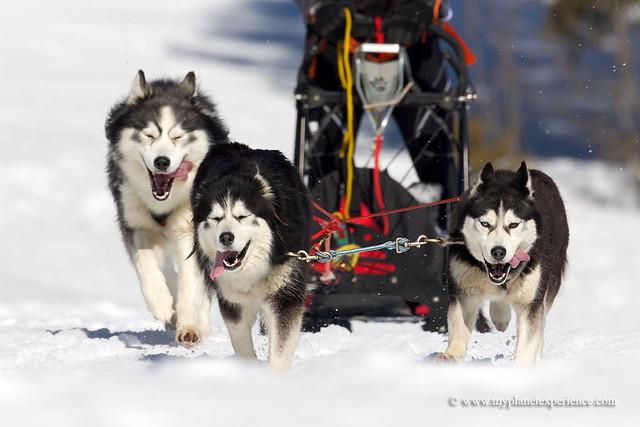 Alaskan Malamutes - Sled dog race