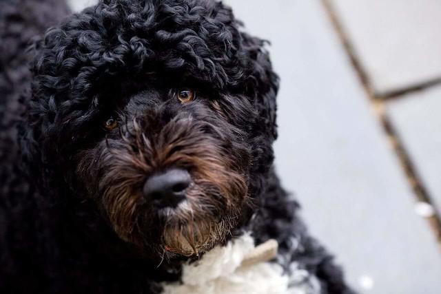 Portugiesischer Wasserhund - Die Wogen des Meeres