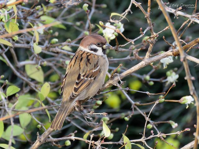 Tree Sparrow on Honeysuckle.