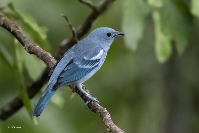 Blue-gray Tanager / Tangara évêque