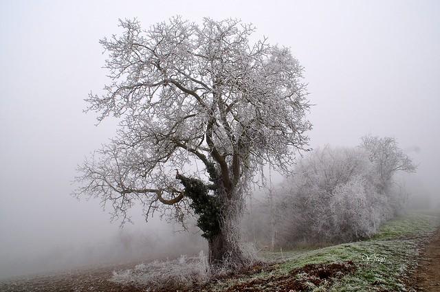 L'arbre givré