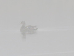 duck in fog