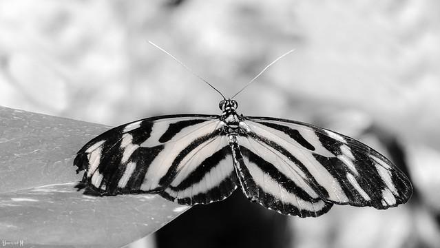 Butterfly - 7933