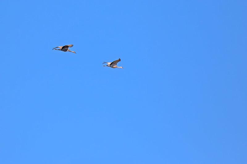 Sand-Hill-Cranes-40-7D2-101519