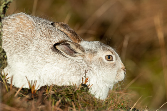 Mountain Hare, Peak District