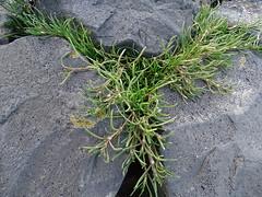Spergularia marina - Salz-Schuppenmiere