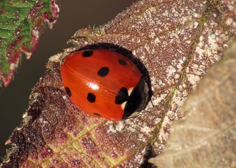 7-spot Ladybird - Coccinella septempunctata