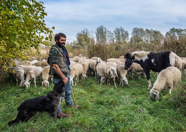 Sheep-farming in the Bergamasca plain