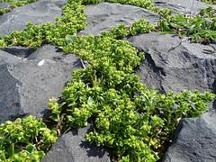Honckenya peploides - Salzmiere