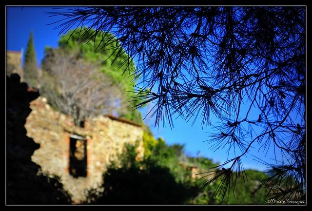 Branche de pin parasol sur fond des ruines du village de Corbère