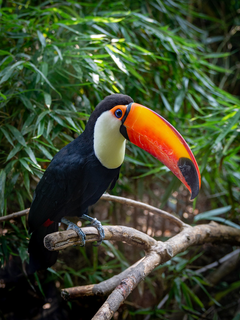 A toucan laid on a tree branch in the forest