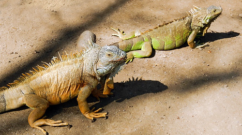 Iguanas in Manzanillo, Mexico. The males are orange, the females green.