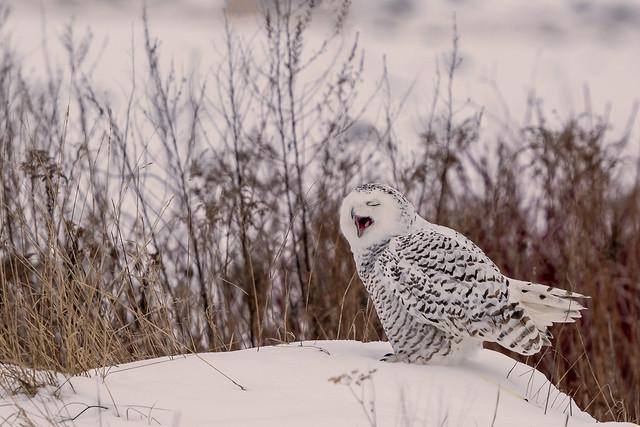 Howling Snowy Owl