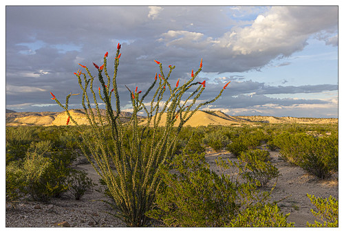 Crazy Ocotillo