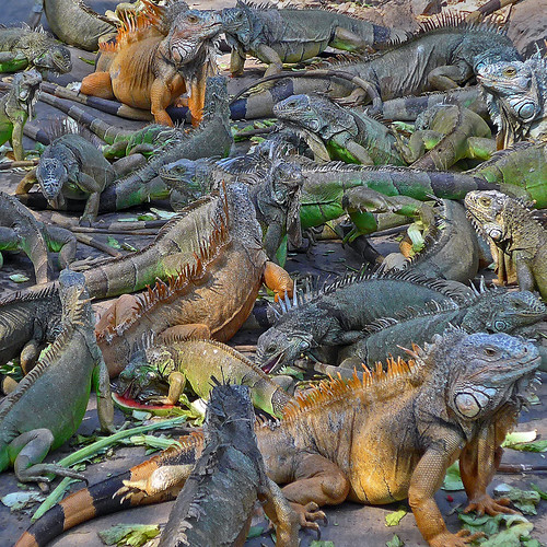 Iguanas in Manzanillo, Mexico