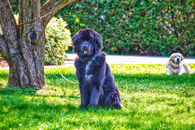 Malone New York - Big Dog in the front yard - Historic Home