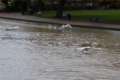 Swans taking off, Stratford