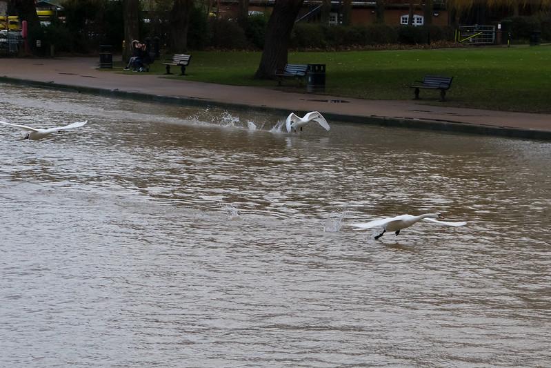 Swans taking off, Stratford