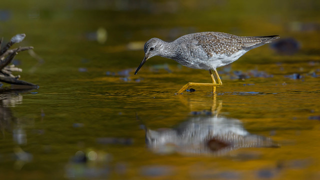 Lesser Yellowlegs  8963