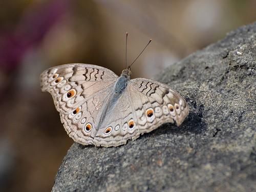 junoniaatlites greypansy iitbhilai raipur chhattisgarh nikond5100 butterflyindia butterfly brushfooted