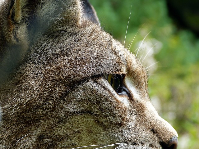 Not the eye of the tiger, but the eye of the lynx