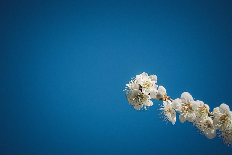 石龜梅園|烏松崙