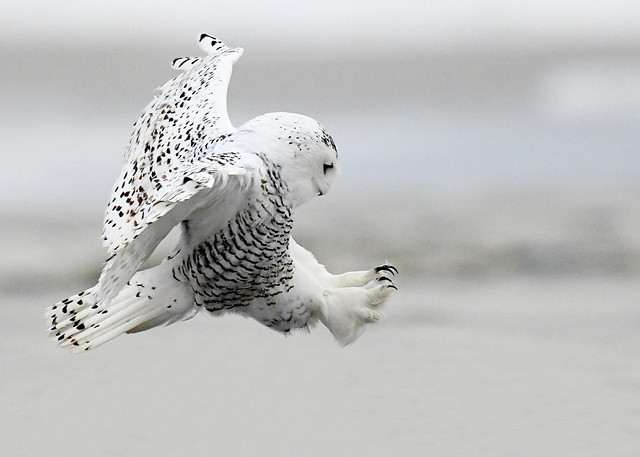 Snowy Owl Chasing After Prey