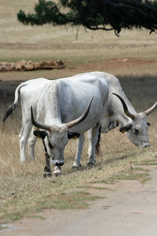 Longhorn cattle, Istria, Croatia