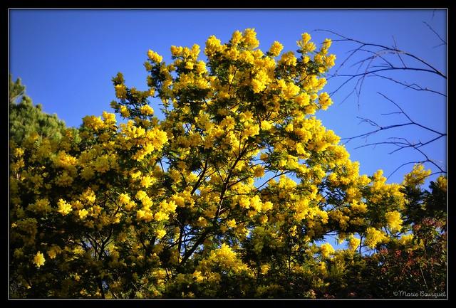 Mimosa en fleurs début janvier 2020