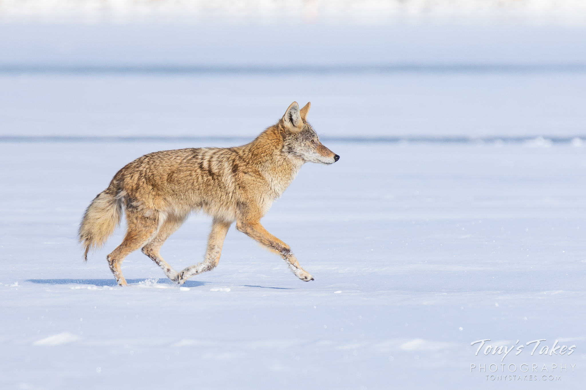 A coyote heads off across the ice while hunting. (© Tony's Takes)