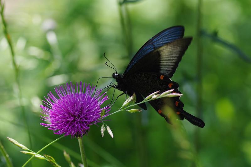 Papilio dehaanii