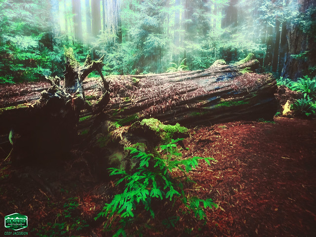 FALLEN REDWOOD GIANT-AVE-2020--4032WX3024H-300PPI © Cody Jacobson-ZEN MOUNTAIN MEDIA all rights reserved