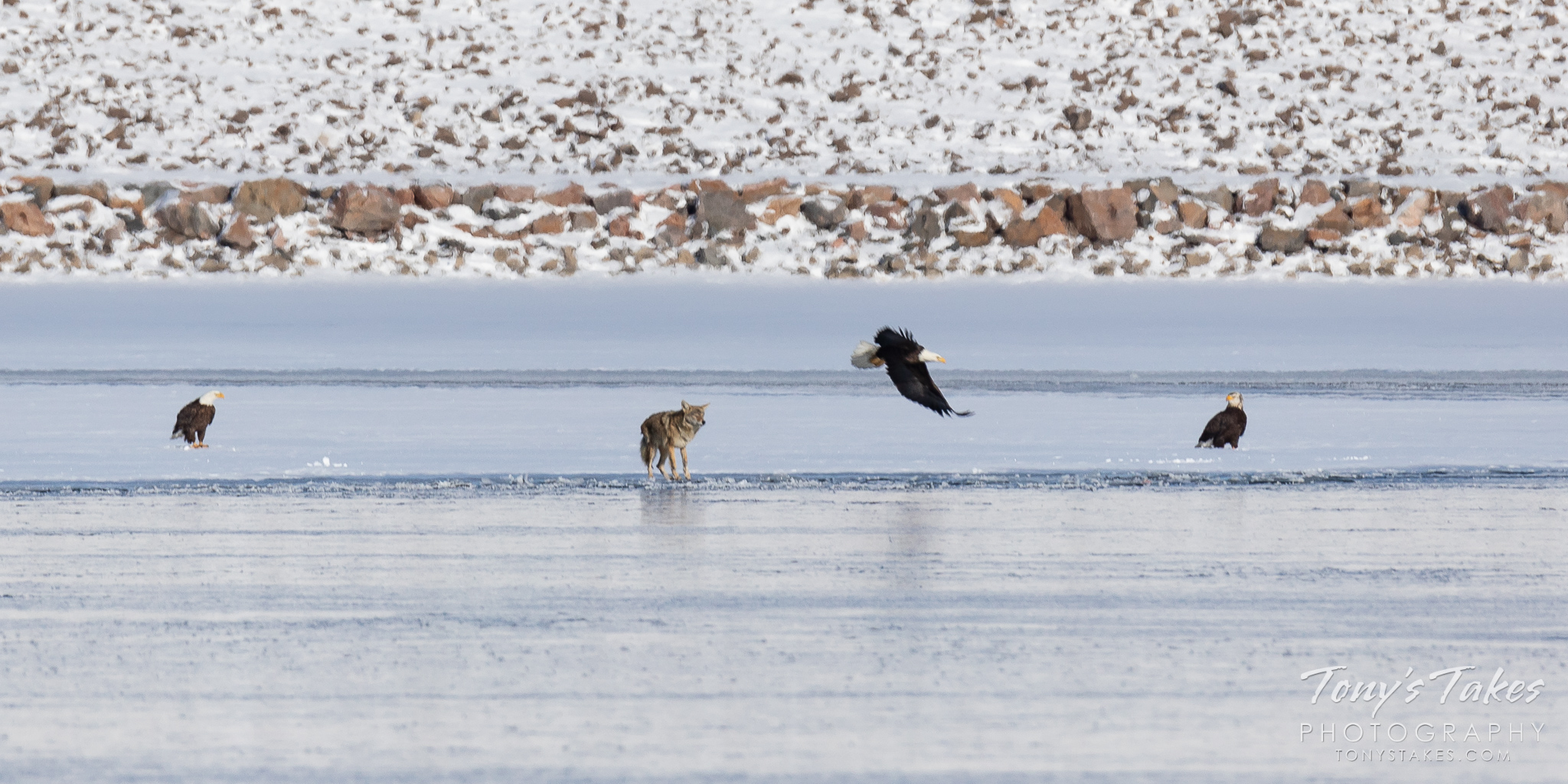 A coyote approaches a couple of bald eagles on the frozen lake. (© Tony's Takes)