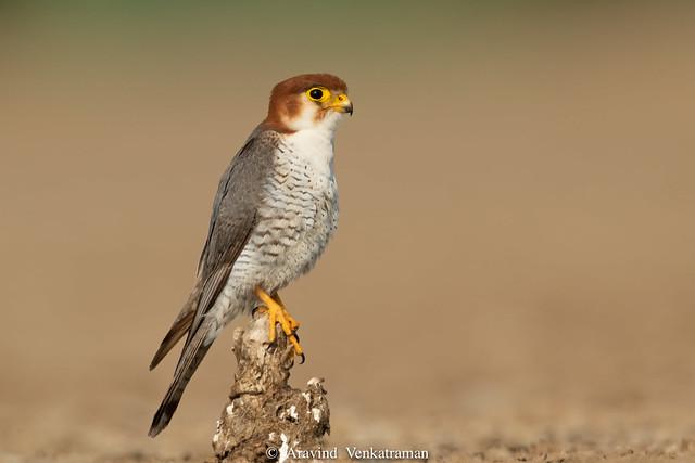 Red Neck Falcon