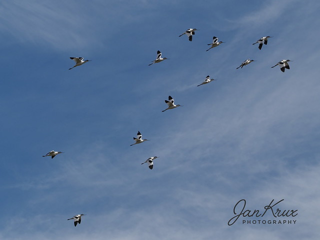 Flock of Pied Advocets