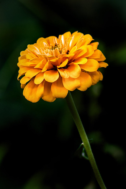 Yellow Zinnia Profile 3-0 F LR 10-12-19 J137