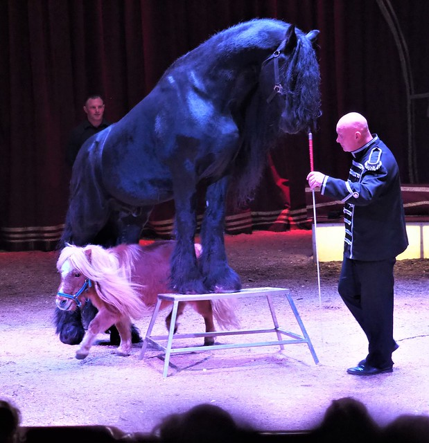 Friesian Stallion Artus and mini Pony Darling - Christmas Circus Show Barus in Hanau, Germany - January 4, 2020