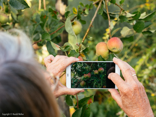 Taking a photo of apples