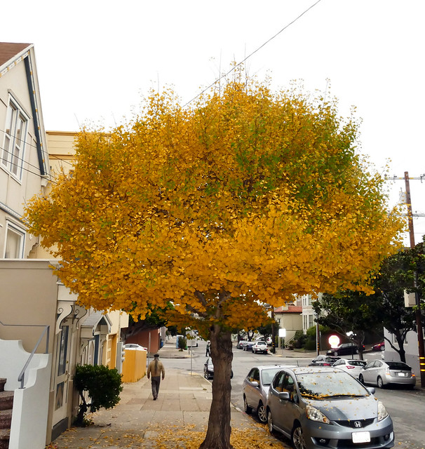my annual xmas day tradition is a long long photo-op walk, gingko tree dropping its leaves 12-19*