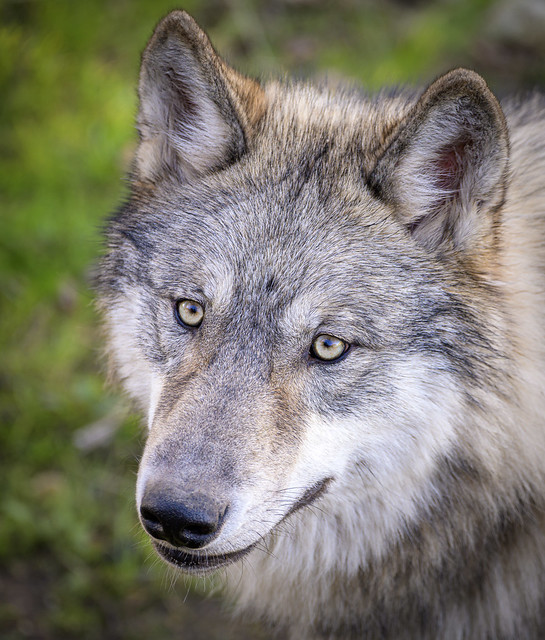 Gray Wolf (Canis lupis)