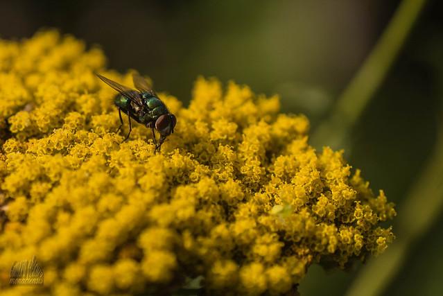 An ordinary fly