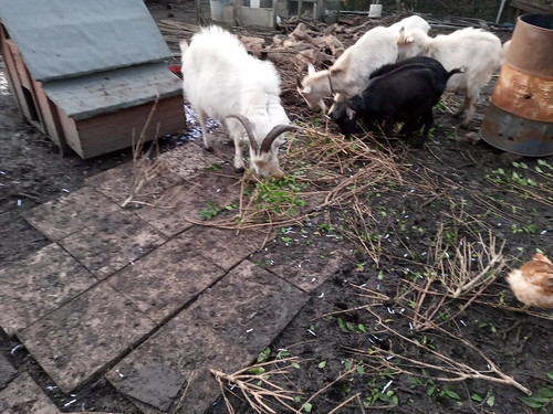 goats and paving Jan 2020