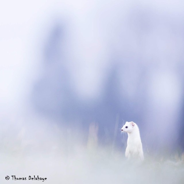 Sweet Stoat ... From french alps mountain this morning