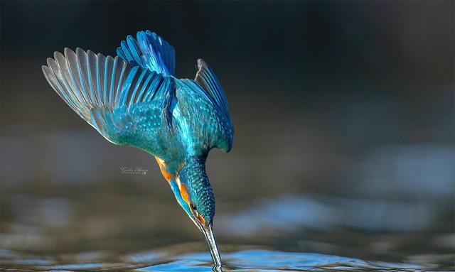 Impact - Kingfisher