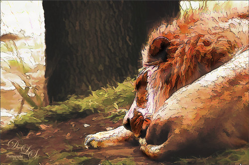 Image of a sleeping lion at the Jacksonville Zoo