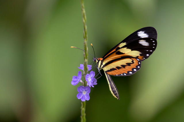 Confused Tigerwing (Mechanitis lysimnia lysimnia)