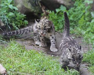 Clouded leopard cub 504